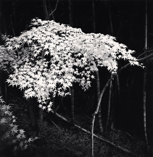 Michael Kenna - Maple Tree in Autumn, Kyoto, Honshu, Japan. 2001